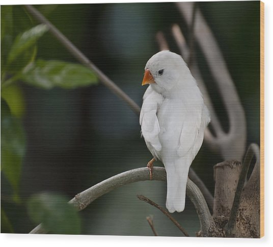 White Finch Wood Print
