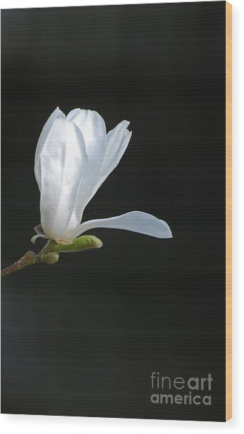 White Magnolia Wood Print by Conny Sjostrom