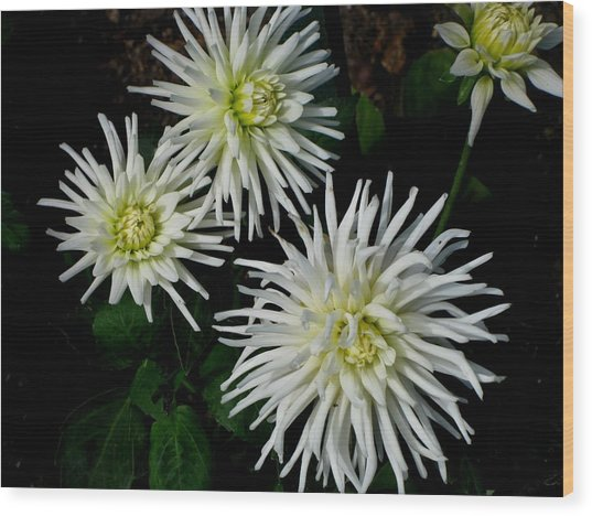 White Mums Wood Print by Kathy Long