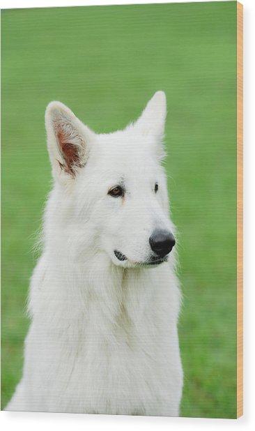 White Swiss Shepherd Dog Wood Print by Waldek Dabrowski