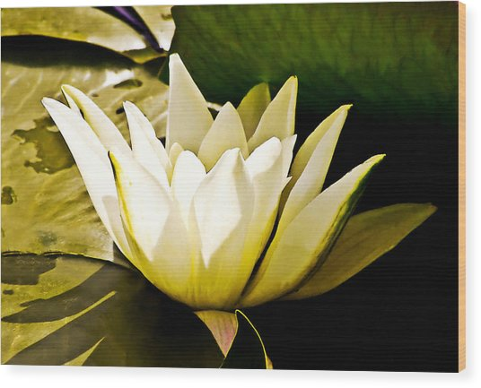 White Water Lily Wood Print by Design Windmill
