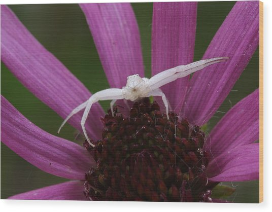 Whitebanded Crab Spider On Tennessee Coneflower Wood Print