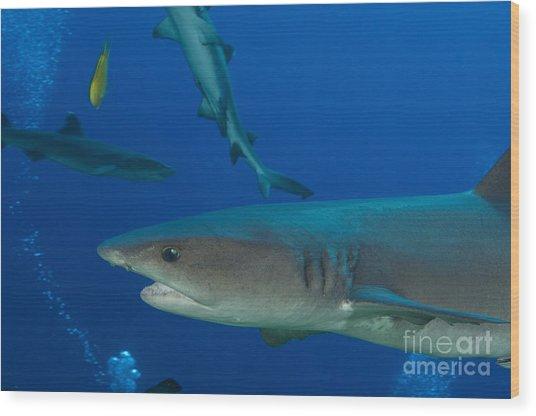 Whitetip Reef Shark, Papua New Guinea Wood Print