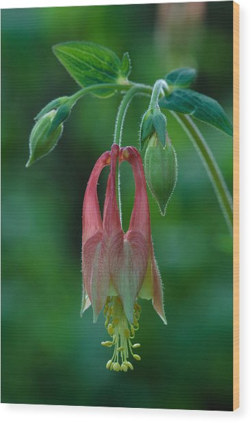 Wild Columbine Flower Wood Print