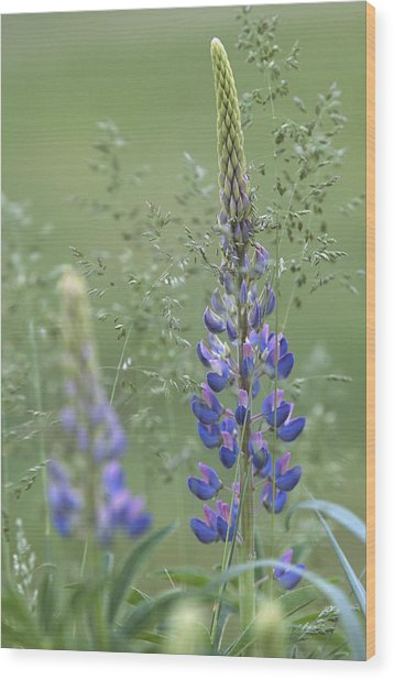 Wild Lupine Flower Wood Print