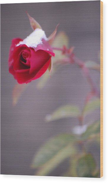 Winter Rose Wood Print by Dickon Thompson
