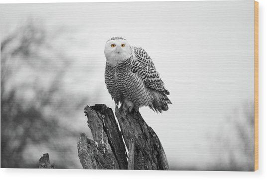 Winter Snowy Owls Wood Print by Pierre Leclerc Photography