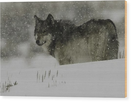 Winter Wolf #1 Wood Print by Kenneth McElroy