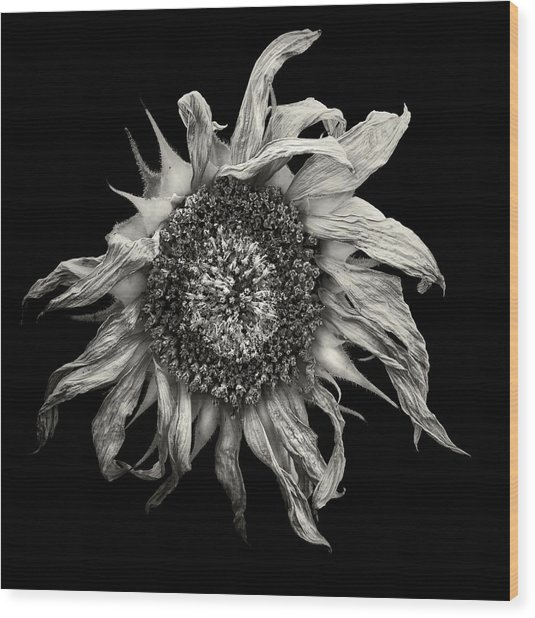 withered Sun  Wood Print by Jaromir Hron
