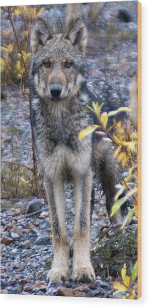 Wolf Cub In Denali Wood Print by Jim and Kim Shivers