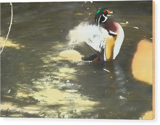 Wood Duck Playing In Pond Wood Print by Richard Adams