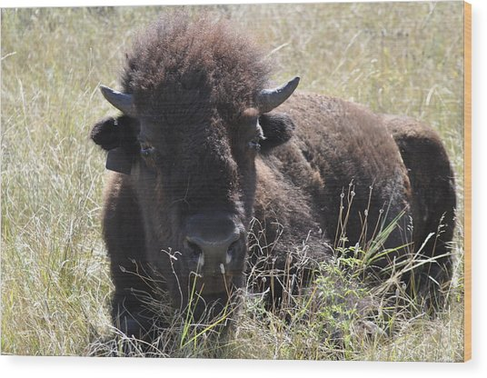 Big-haired Yearling Buffalo Wood Print