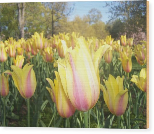 Yellow And Pink Tulips Wood Print