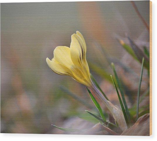 Yellow Crocus Wood Print