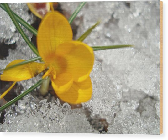 Yellow Crocus Wood Print by Kim French