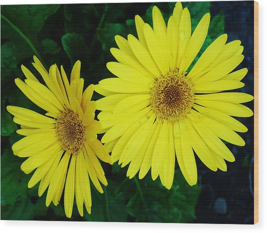 Yellow Gerbers Wood Print by Jeanette Oberholtzer