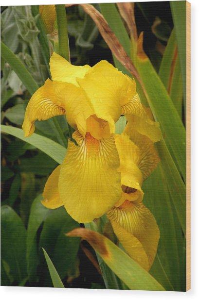 Yellow Iris Tasmania Australia Wood Print by Sandra Sengstock-Miller