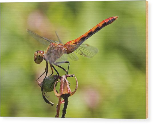Yellow-legged Meadowhawk  Wood Print by Juergen Roth