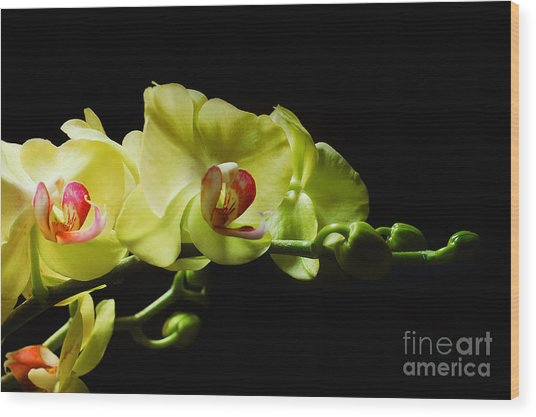 Yellow Orchids Wood Print by Elaine Manley