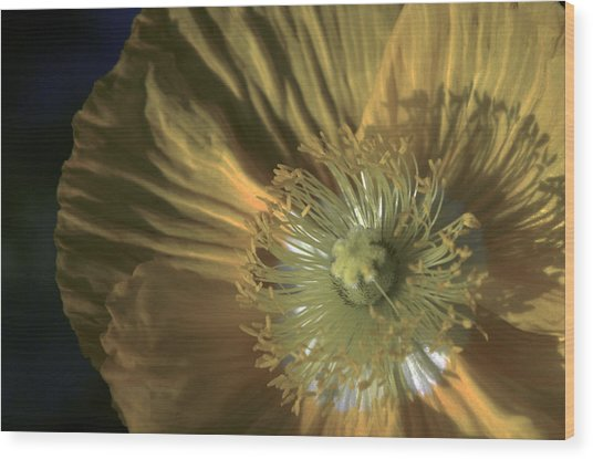 Yellow Poppy Shine Wood Print by John Black