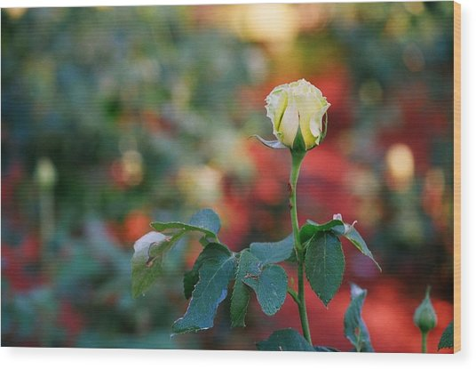 Yellow Rose Wood Print by Timothy Turner
