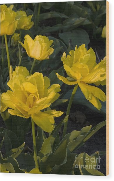 Yellow Tulips  Tulipes Jaune Wood Print by Nicole  Cloutier Photographie Evolution Photography