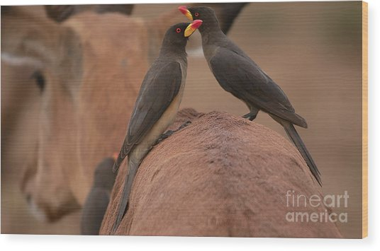 Yellowbilled Oxpeckers Wood Print