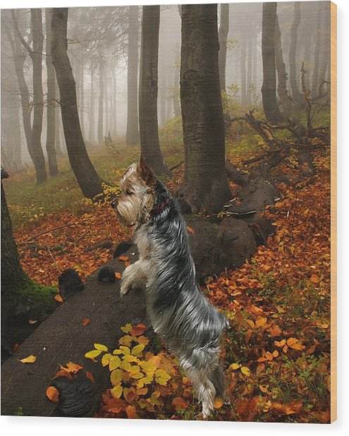 Yorkie On The Hunt Wood Print by Rick Friedle