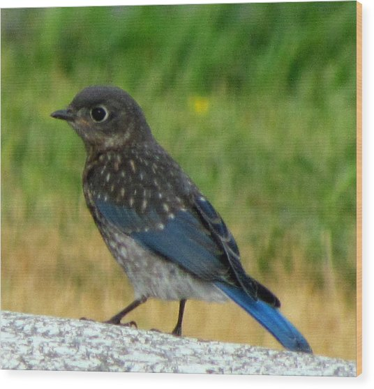 Young Bluebird Two Photograph By Betty Pieper