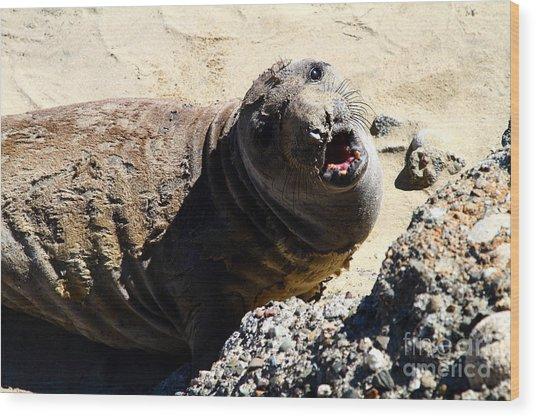 Young Elephant Seal Molting . 7d16100 Wood Print by Wingsdomain Art and Photography