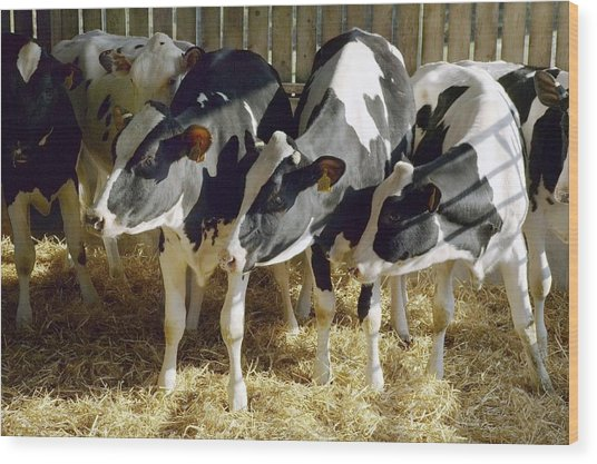 Young Friesian Dairy Cows Wood Print by Colin Cuthbert