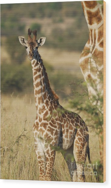 Young Giraffe In The Mara Wood Print by Alan Clifford