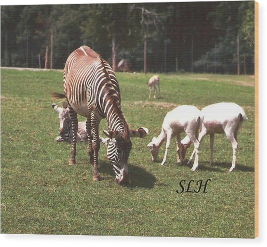 Zebra's Grazing Wood Print
