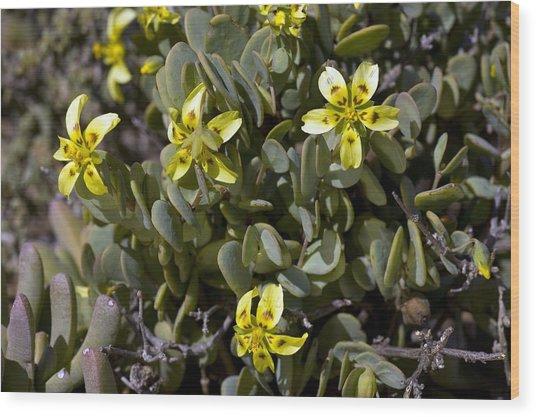 Zygophyllum Cordifolium Flowers Wood Print by Bob Gibbons
