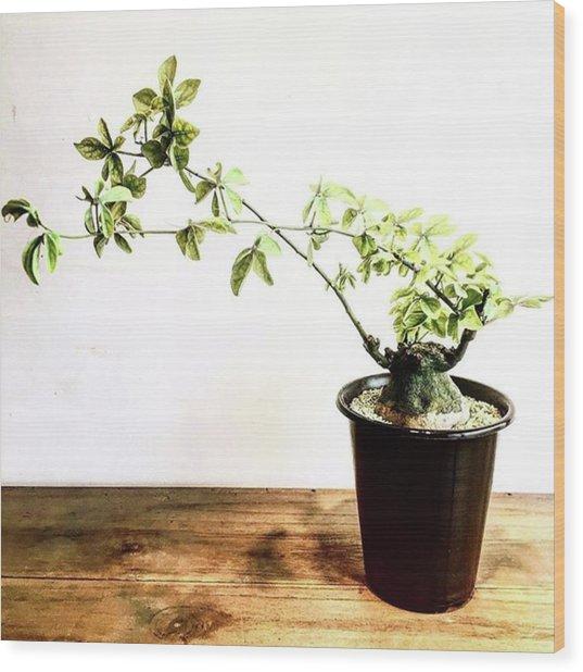 * Adeniaglauca Wood Print by Wakao Masashi
