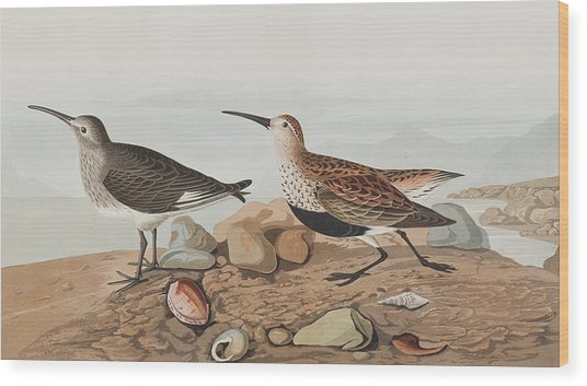 Red Backed Sandpiper Wood Print