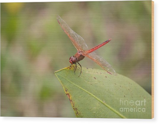 Red Flame Dragonfly Wood Print by David Grant