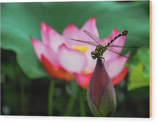 A Dragonfly On Lotus Flower Wood Print