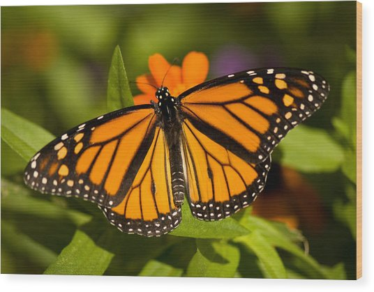 A Monarch Butterfly At The Lincoln Wood Print