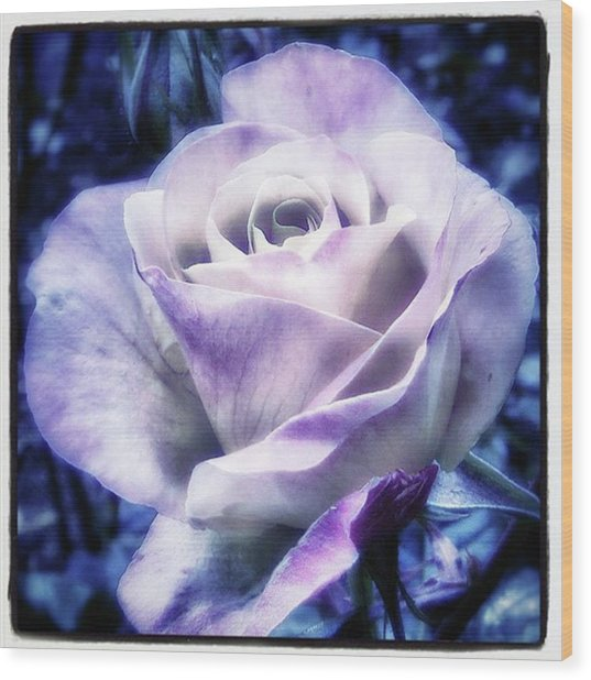 Wood Print featuring the photograph A Rose Is A Rose Is A Rose, Variation by Mr Photojimsf