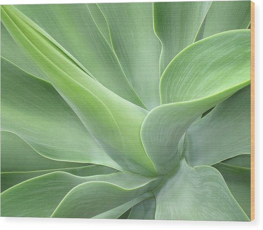 Agave Attenuata Abstract Wood Print