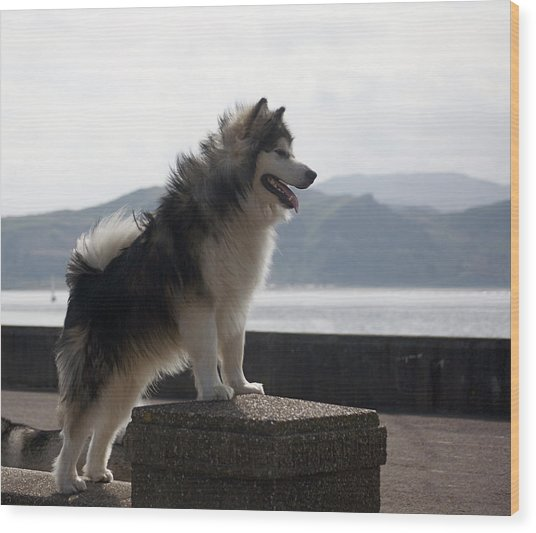 Alaskan Malamute.  Wood Print
