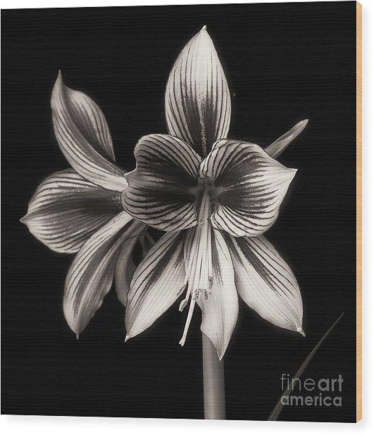 Amaryllis 'papilio Improved' Wood Print