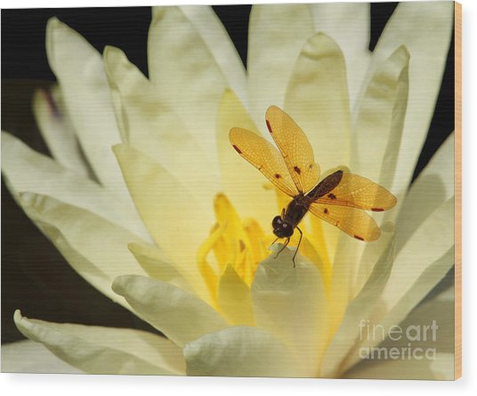 Amber Dragonfly Dancer 2 Wood Print