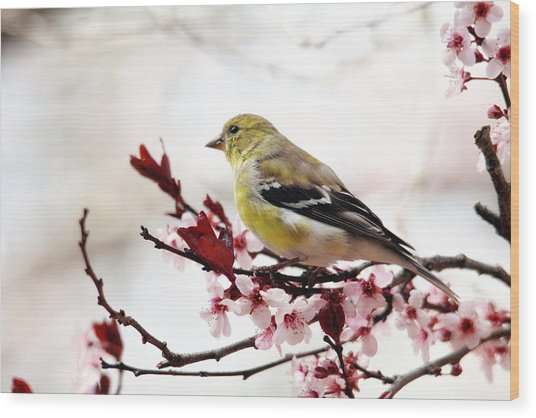 American Goldfinch In Spring Wood Print