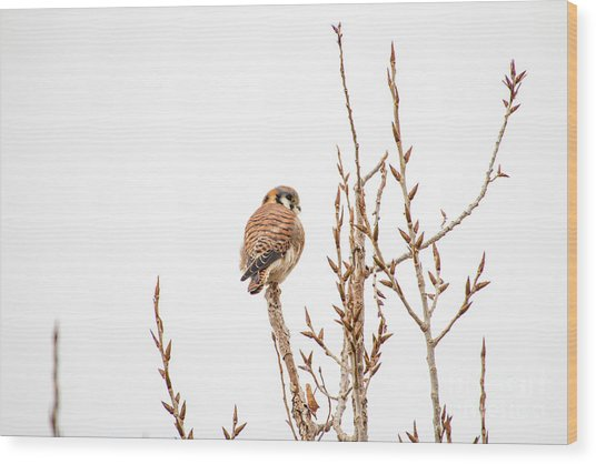 Wood Print featuring the photograph American Kestrel by Spencer Baugh