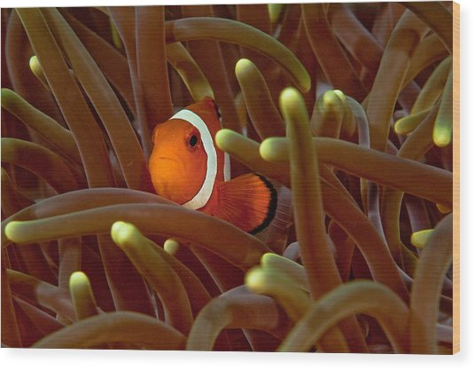 Anemone Fish Wood Print