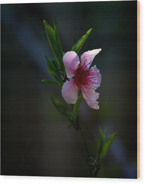 Apple Blossom Wood Print by Martin Morehead