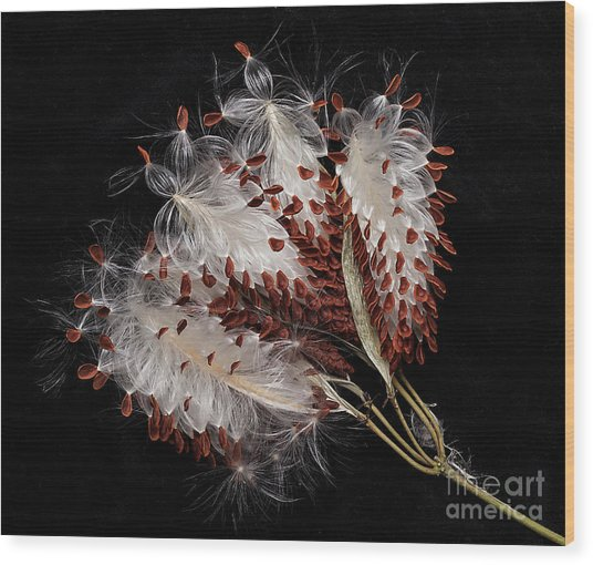 Asclepias Currasavica--seed Pod Wood Print