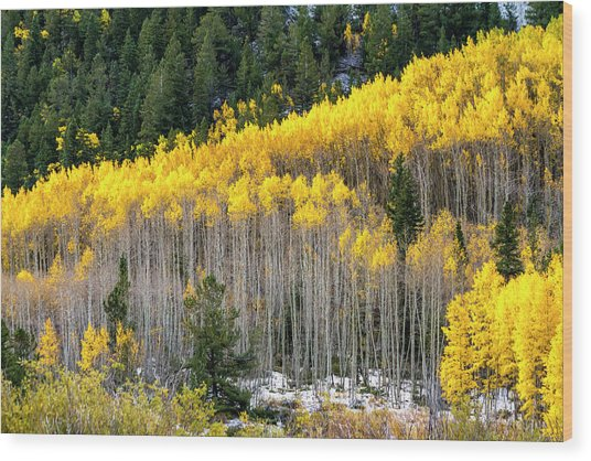 Aspen Trees In Fall Color Wood Print